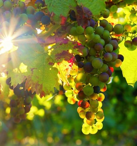uvas-sol-recorte